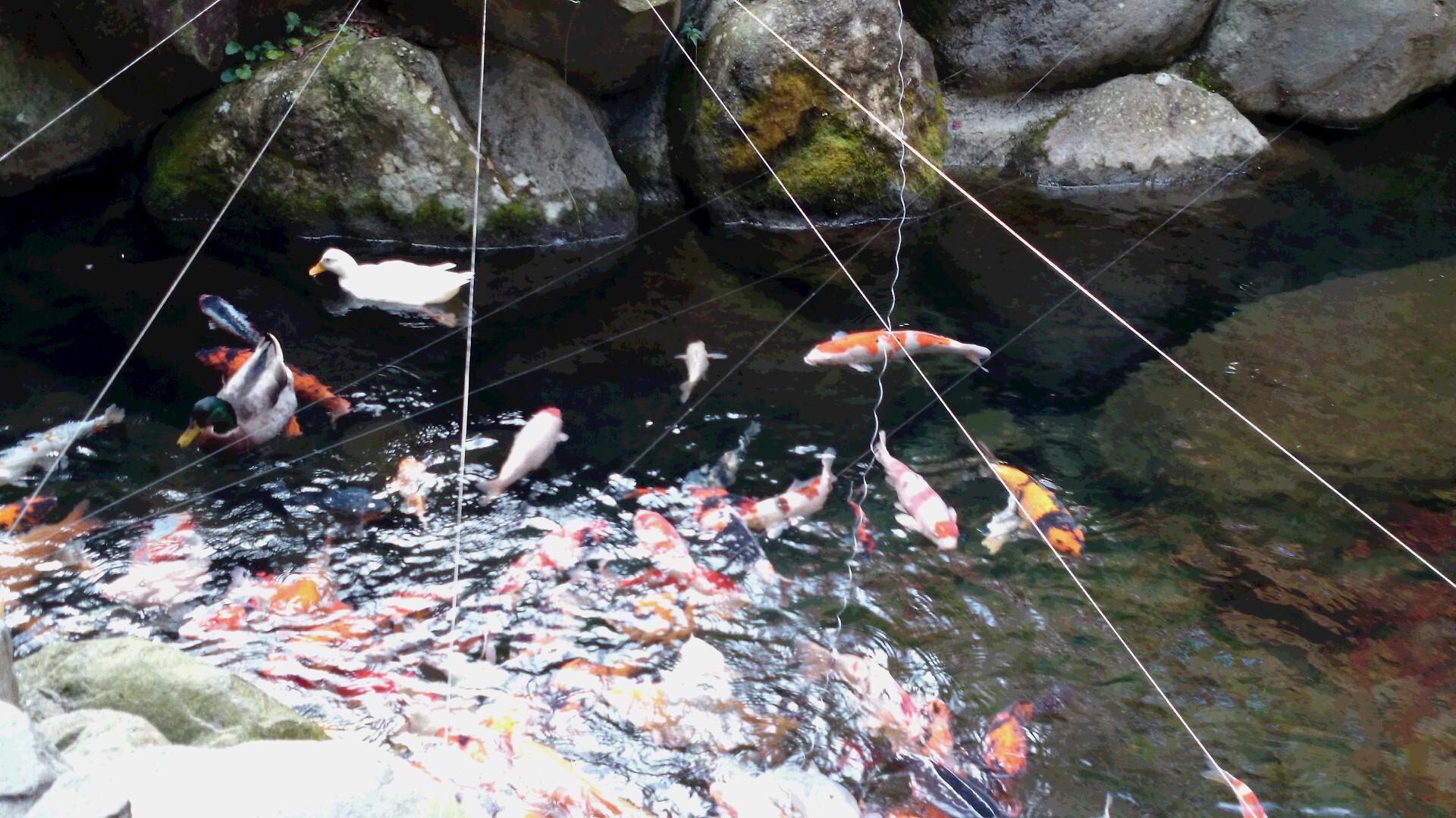天成園の鯉