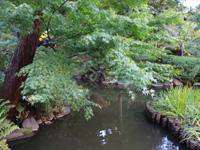 旧古河庭園のバラフェスティバル:心字池・もみじ