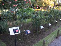 旧古河庭園のバラフェスティバル:バラ1