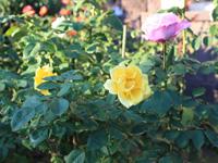 旧古河庭園のバラフェスティバル:バラ2