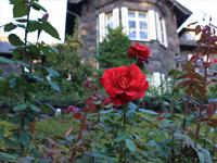 旧古河庭園のバラフェスティバル:バラ3
