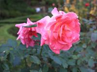 旧古河庭園のバラフェスティバル:バラ4